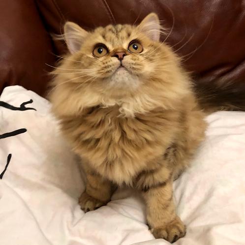 318 Mia   Scottish straight longhair female kitten