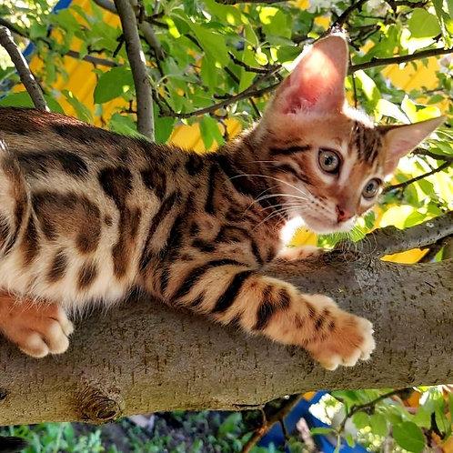 131 Amigo  purebred Bengal male kitten