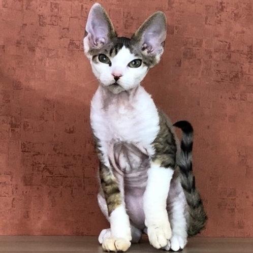 363 Katsby    male kitten Devon Rex