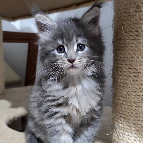 340 Scarlett  Maine Coon female kitten