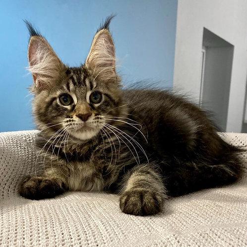 584 Bounty  Maine Coon female kitten