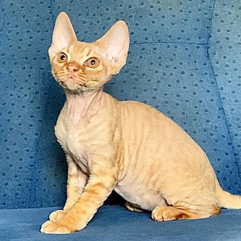 615 Locky  male kitten Devon Rex