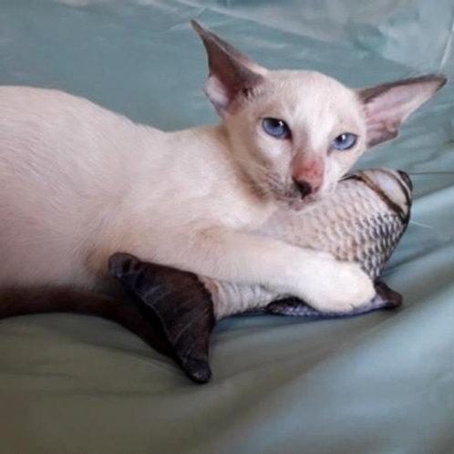630 Vinsent  Siamo Oriental male kitten