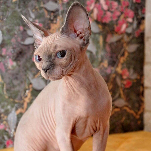 357 Eva Vivian female kitten Devon Rex
