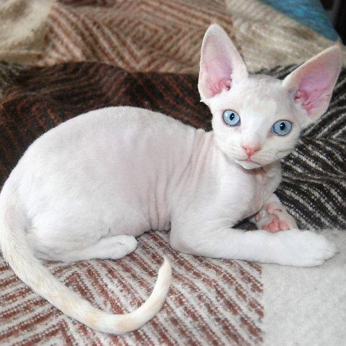 355 Dayquiry male kitten Devon Rex