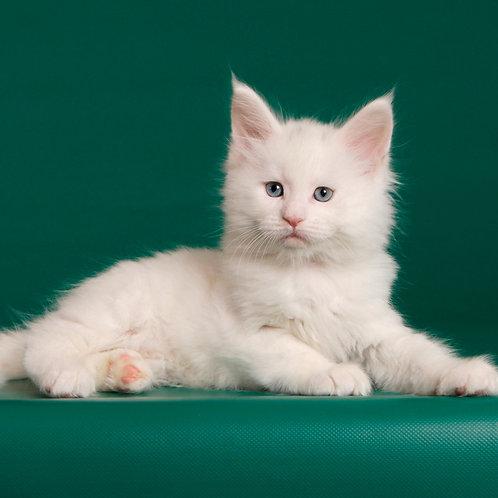 13 Saturn Maine Coon male kitten