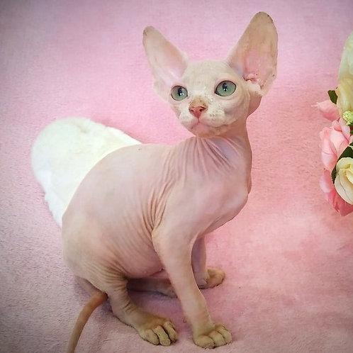 549 Limbo  male Sphynx   kitten