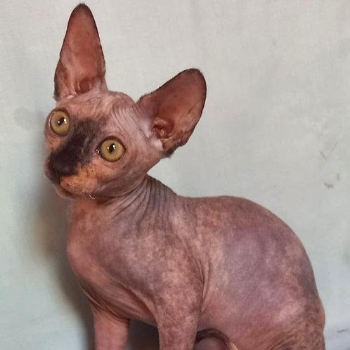 422 Beatris   female Sphinx kitten