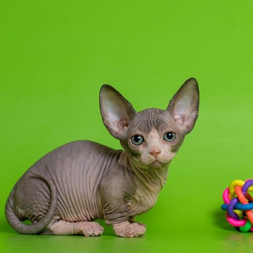 Littlefoot female Bambino  kitten