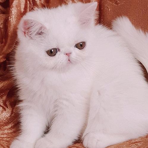 Nikita Exotic shorthair female kitten