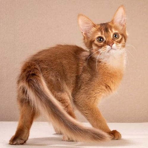 193 Francheska  purebred Somali female kitten