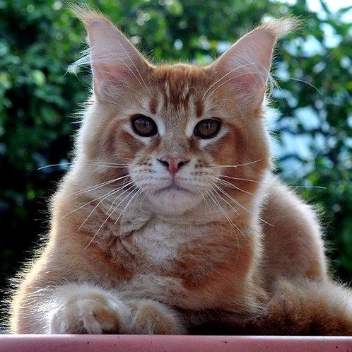 717 Mr. Darcy  Maine Coon male kitten