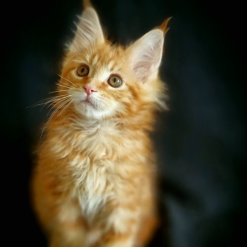 264 Greta  Maine Coon female kitten