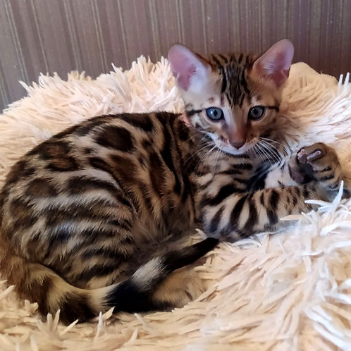 208 Absent   purebred Bengal male kitten