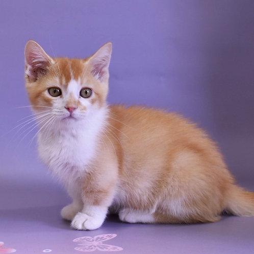 Dallas Munchkin male kitten