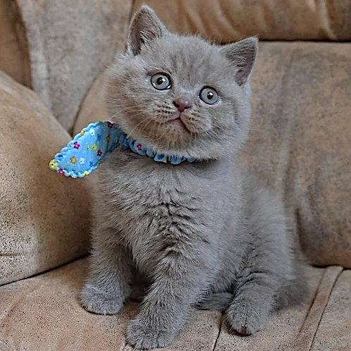 621 Yogurt  British shorthair male kitten