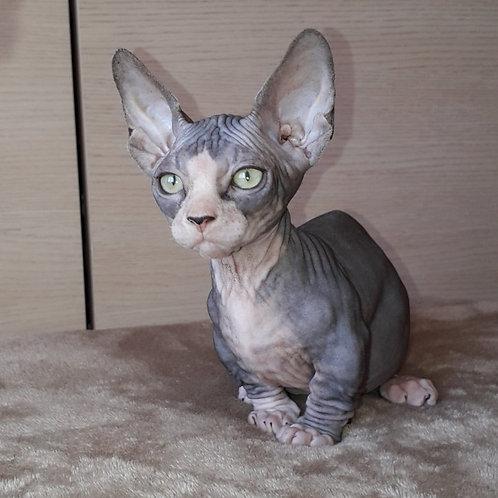322 Arny male Bambino  kitten