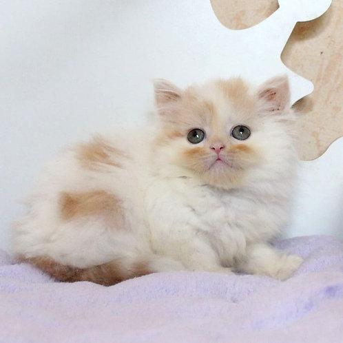 429 Aprel     Scottish straight longhair male kitten