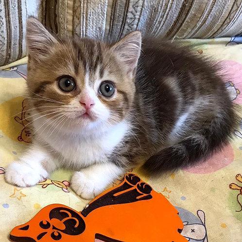 959 Esmeralda  British shorthair female kitten