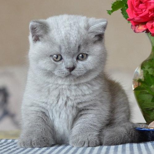 829 Zackary  British shorthair male kitten