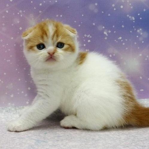 657 Biscuit   Scottish fold shorthair male kitten