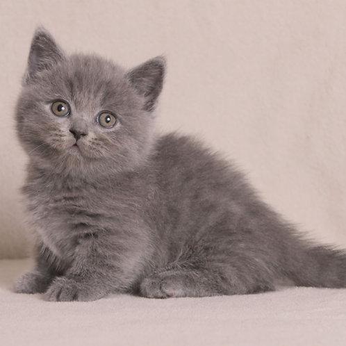 308 Masago   Munchkin male kitten