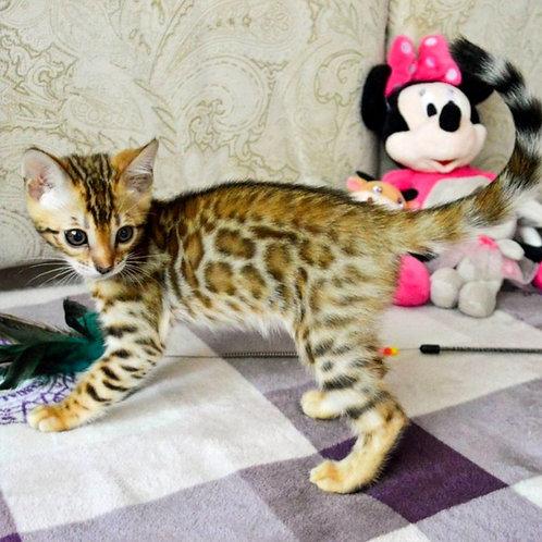 225 Nefertiti  purebred Bengal female kitten