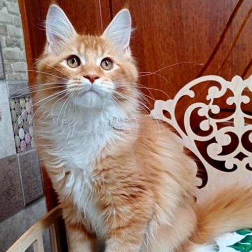 283 Gucci    Maine Coon male kitten