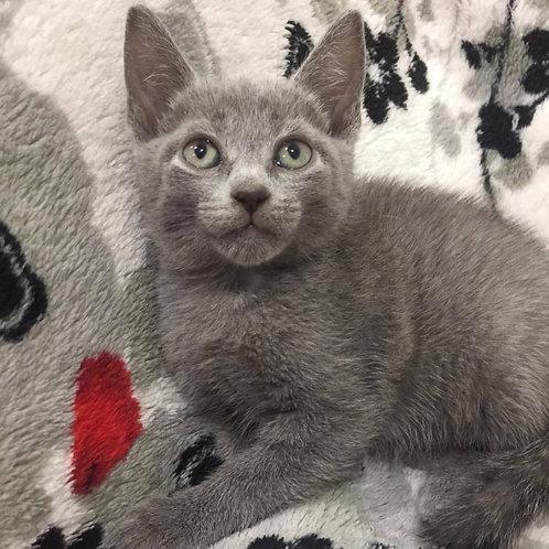 136 Djon   Russian blue male kitten