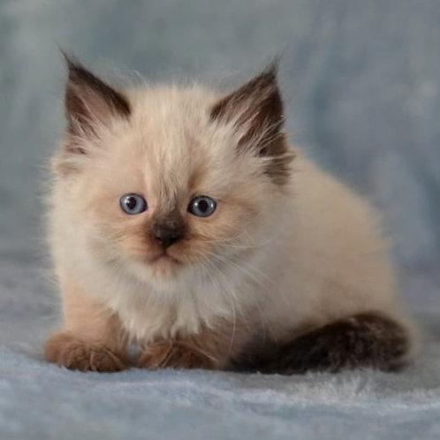 125 Francesca     Siberian female kitten