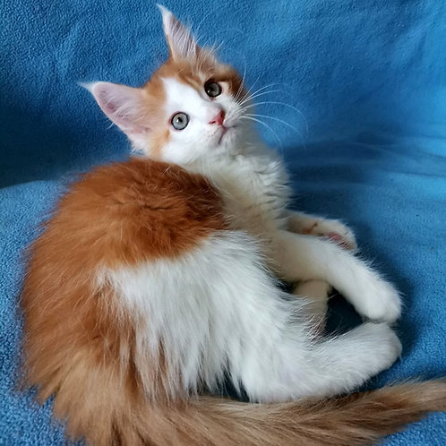 620 Michael  Maine Coon male kitten