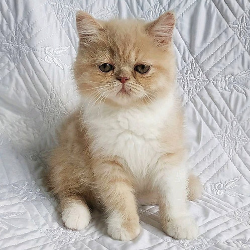 117 Richi  Exotic  male kitten