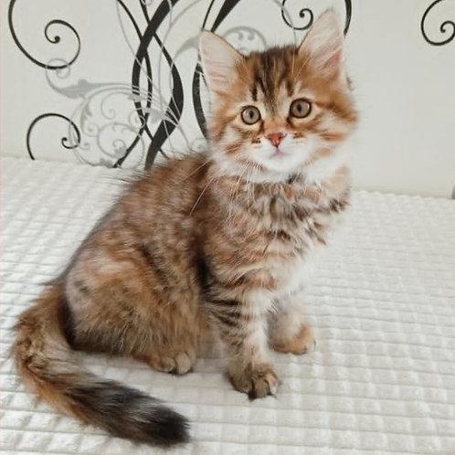 164 Bogdana     Siberian female kitten