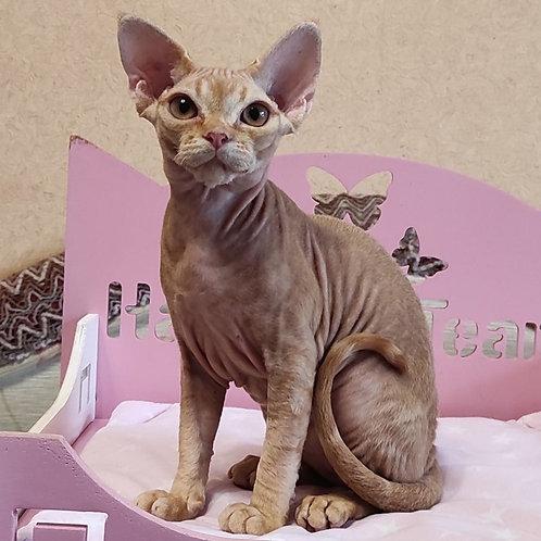 284 Stella    female kitten Devon Rex