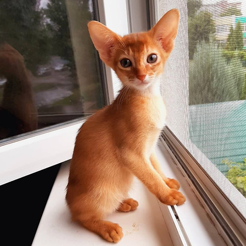 240 Jastin   purebred Abyssinian male kitten