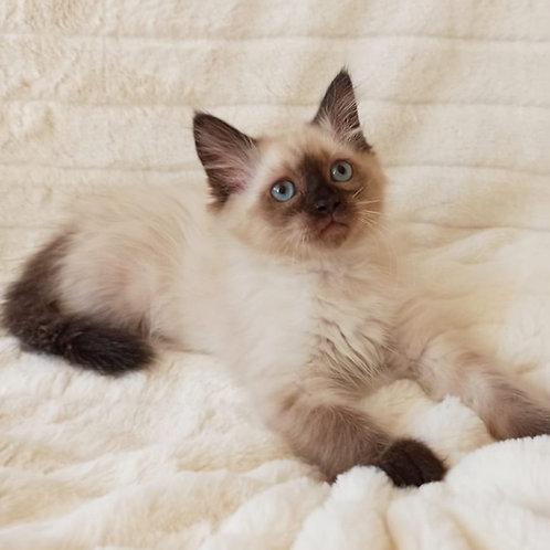 Laurus Siberian male kitten