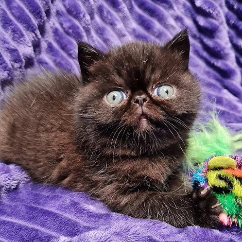 48 Omar   Exotic shorthair male kitten