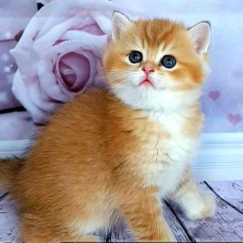 781 Emiliy  British shorthair male kitten