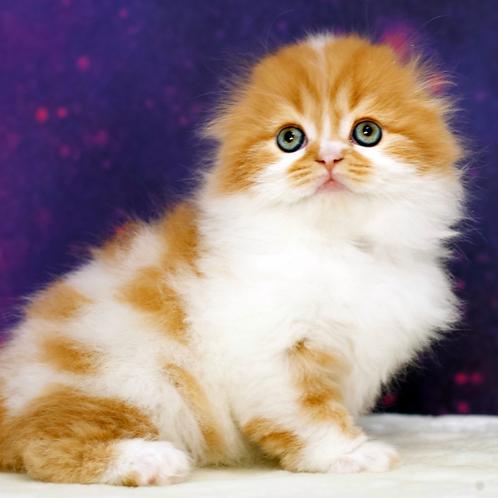 1122 Jimmy  Scottish fold longhair male kitten