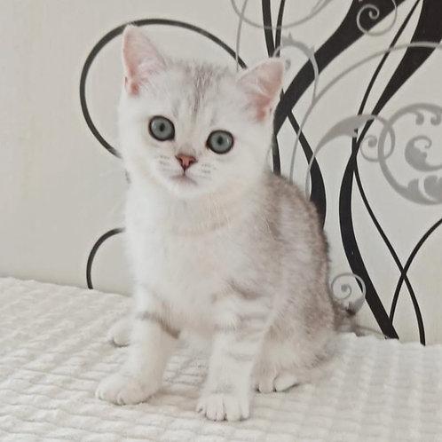 628 Aurora  British shorthair female kitten