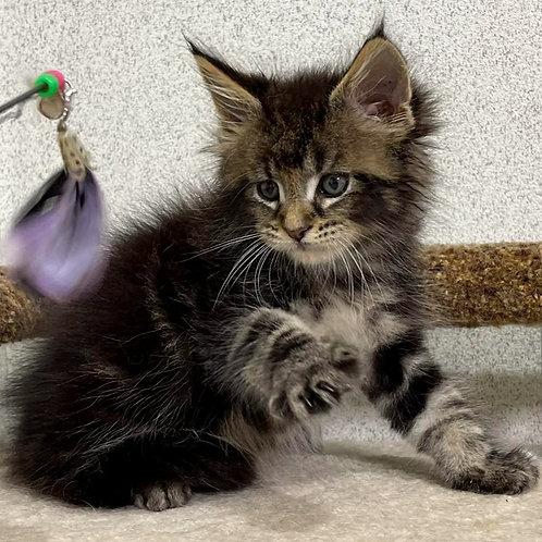 607 Sonic  Maine Coon male kitten