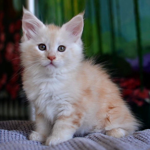 381 Florentina   Maine Coon female kitten