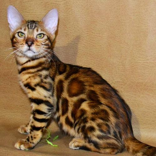247 Olivia purebred Bengal female kitten