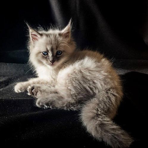 Emil Siberian male kitten