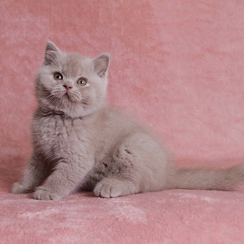 313 Irvine British shorthair male kitten