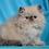 Thumbnail: 252 Tom   Persian  male kitten