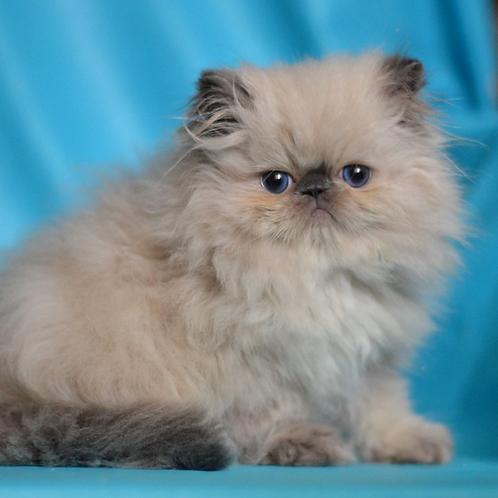 252 Tom   Persian  male kitten