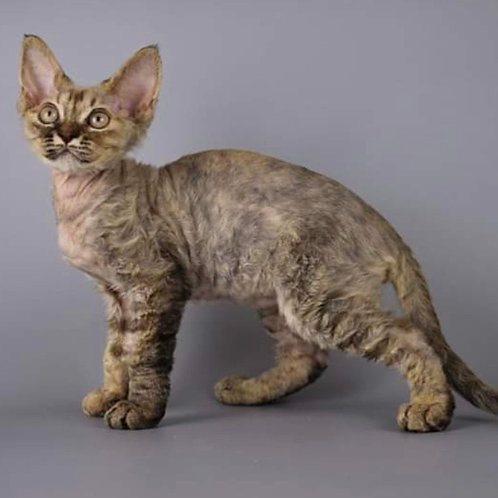 Katalina female kitten Devon Rex
