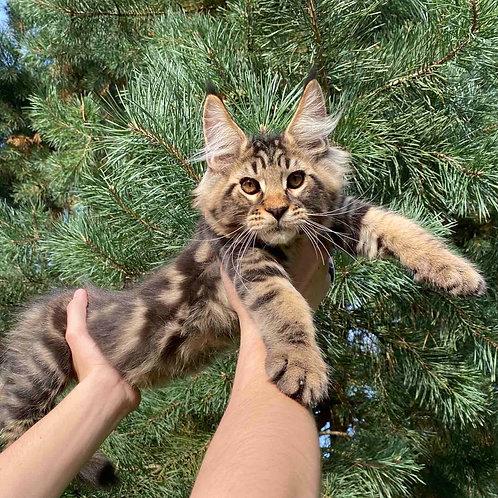 763 Xilon Maine Coon male kitten