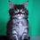 Thumbnail: 241 Alinka    Maine Coon female kitten